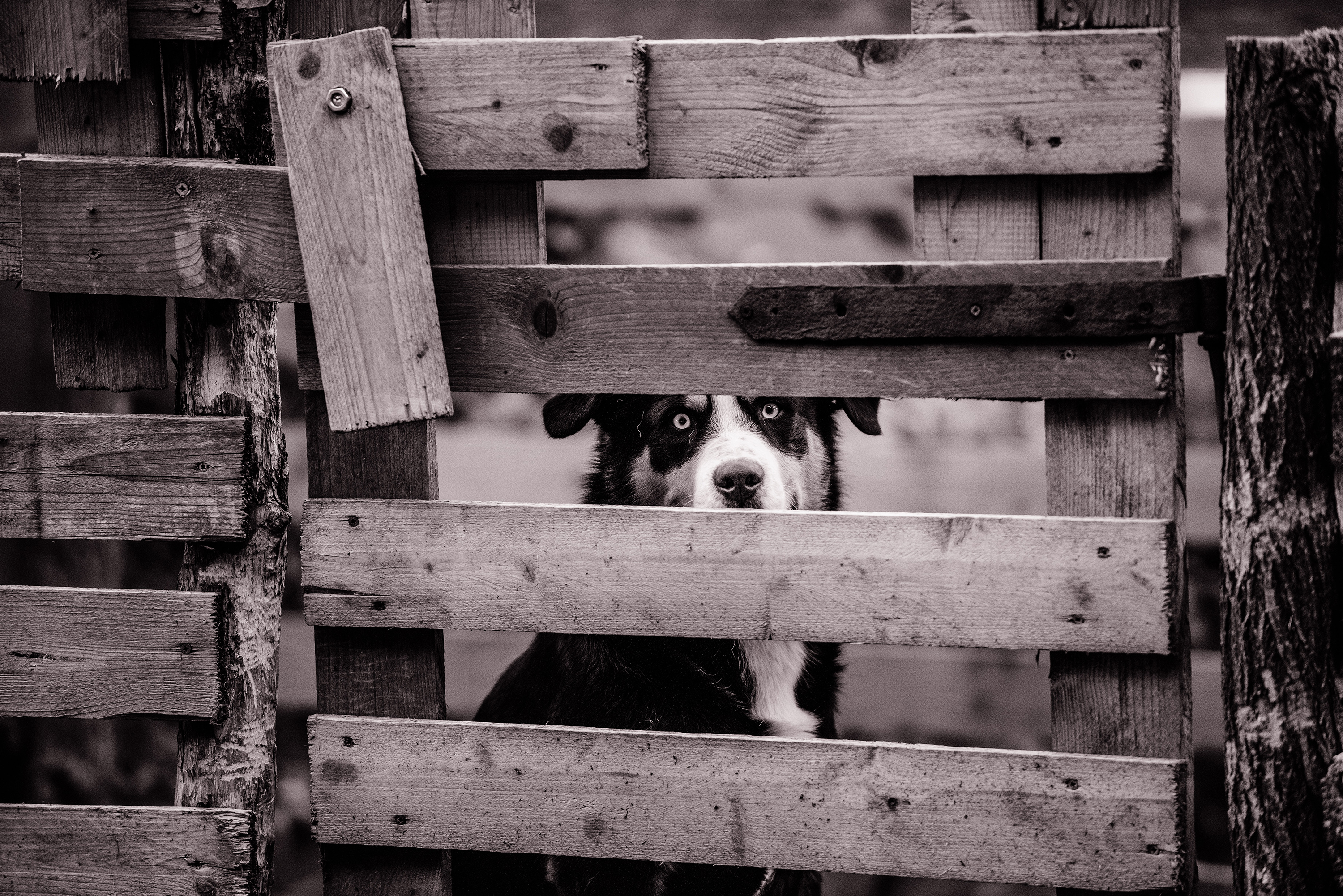Picture of a dog through a wooden fence